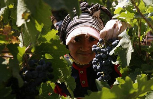 A Syrian labourer gathers grapes at Chateau Kefraya in Lebanon's Bekaa Valley at the end of the harvest, October 4, 2007. Last year there very nearly wasn't a wine harvest -- war raged between Israel and Hezbollah guerrillas for nearly five weeks until mid-August, threatening the picking season. Picture taken October 4, 2007. To match feature LEBANON-WINE/    REUTERS/Jamal Saidi    (LEBANON)