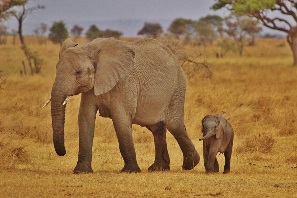 elephant-babies-278524_960_720