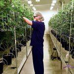 La cannabis della discordia <br> sta trainando l'economia Usa