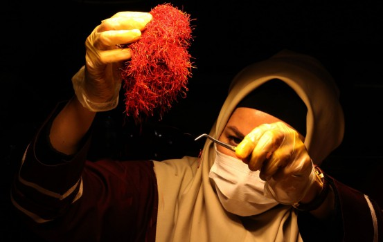 An Iranian worker sorts and cleans saffron filaments during its processing at Iran's Novin Saffron factory in Khorasan province of northeastern Iran on November 12, 2018. - The delicate purple leaves of the Crocus sativus plant hold just three or four of the even more delicate red stamen, better known as saffron, that sprouts for just 10 days a year. These tiny filaments are currently selling in local markets for 90 million rials per kilo -- about $700 on Iran's volatile exchanges -- and perhaps four times higher abroad. (Photo by ATTA KENARE / AFP)