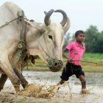 India, perché la sacralità dei bovini <br> mette in crisi il commercio delle carni