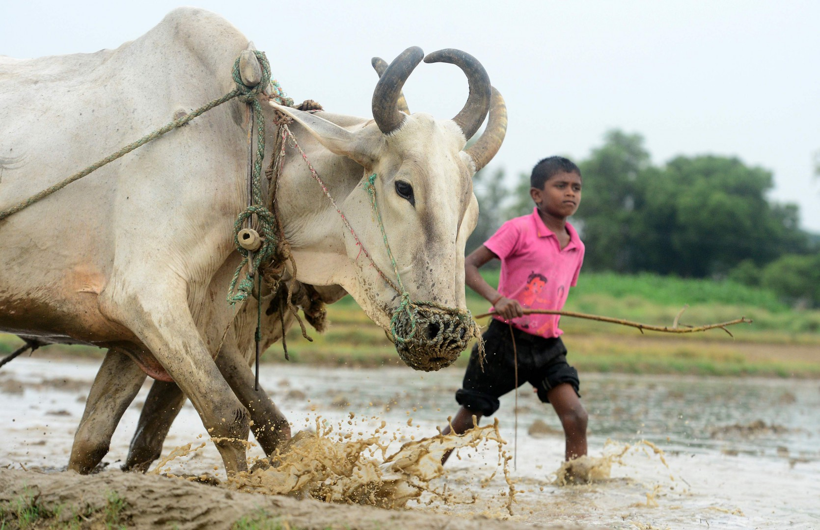 An Indian boy with a cow ploughs a paddy field following monsoon rains in Phafamau village near Allahabad on July 12, 2018. / AFP PHOTO / SANJAY KANOJIA