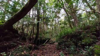 Aokigahara, la foresta dei suicidi (LaPresse)