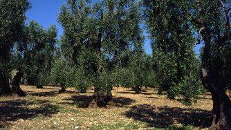 Olive italia
