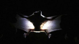Pipistrello (LaPresse)