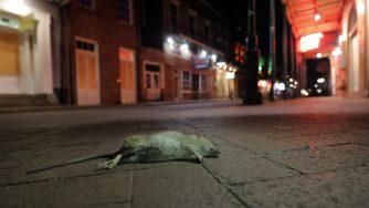 Un topo morto a New Orleans (LaPresse)