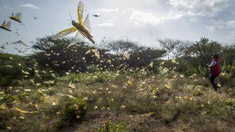 Locuste in Africa (La Presse)