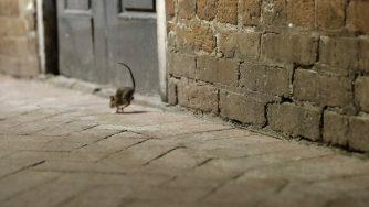 Ratto topo (La Presse)