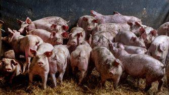 Allevamento di maiali (La Presse)